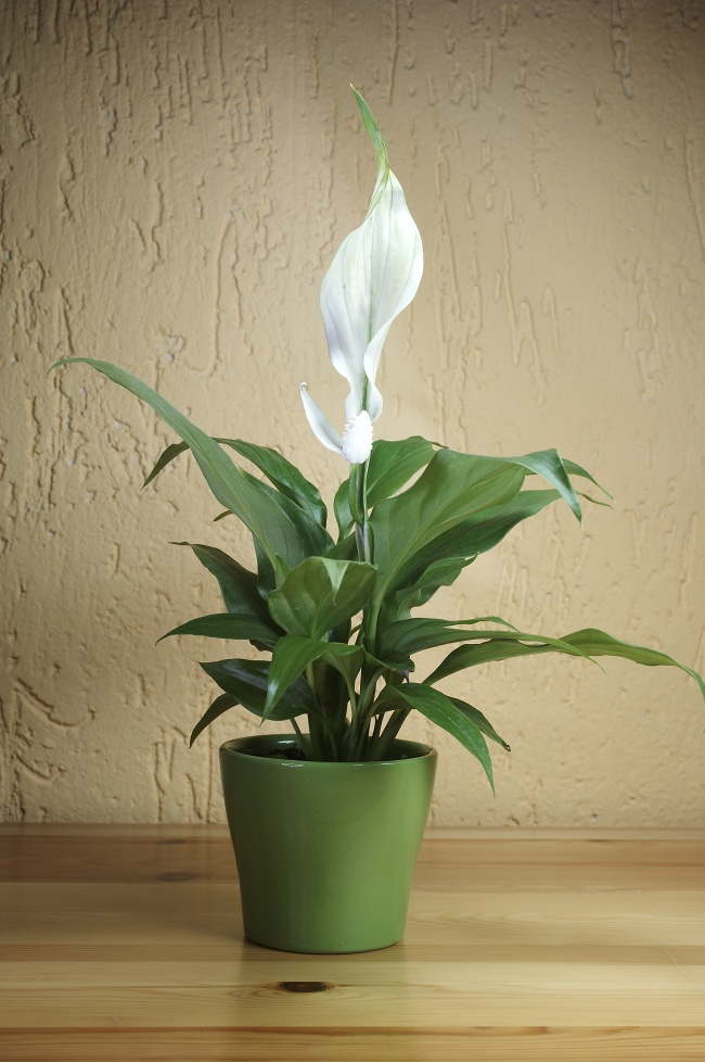 «Лилия мира»— «королева» поочистке воздуха от формальдегида, бензола и трихлорэтилена . Она такж