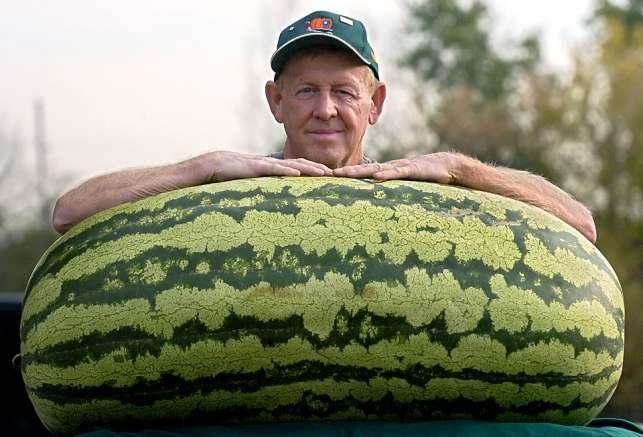 6. Самый большой арбуз Согласно Книге Рекордов Гиннесса самый тяжелый арбуз весит 159 кг и был выращ