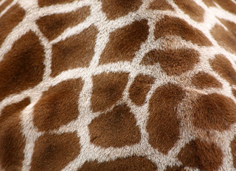 5. Раскраска жирафов строго индивидуальна, в природе не найдется двух животных с одинаковым рисунком