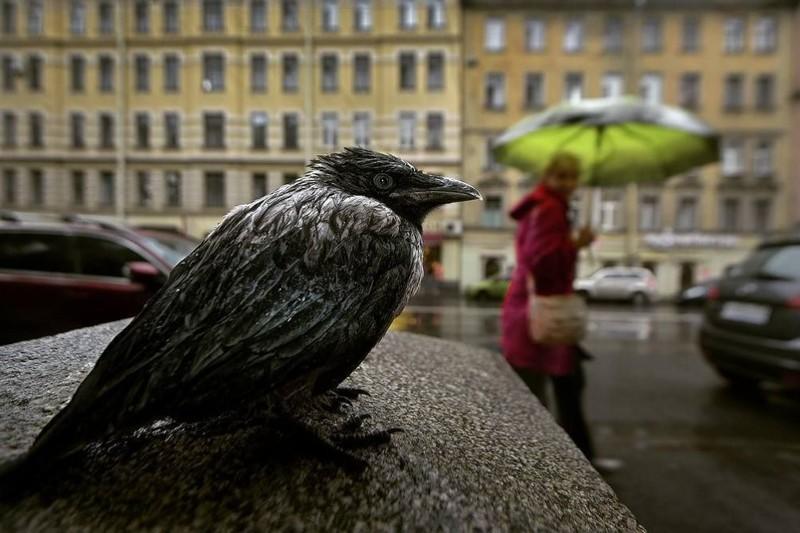 День вороны