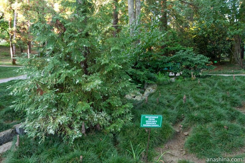 Воздушные корни болотного кипариса