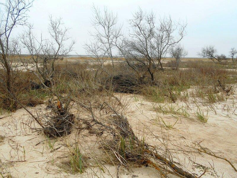 На песках... жизнь растений ... DSCN1703.JPG