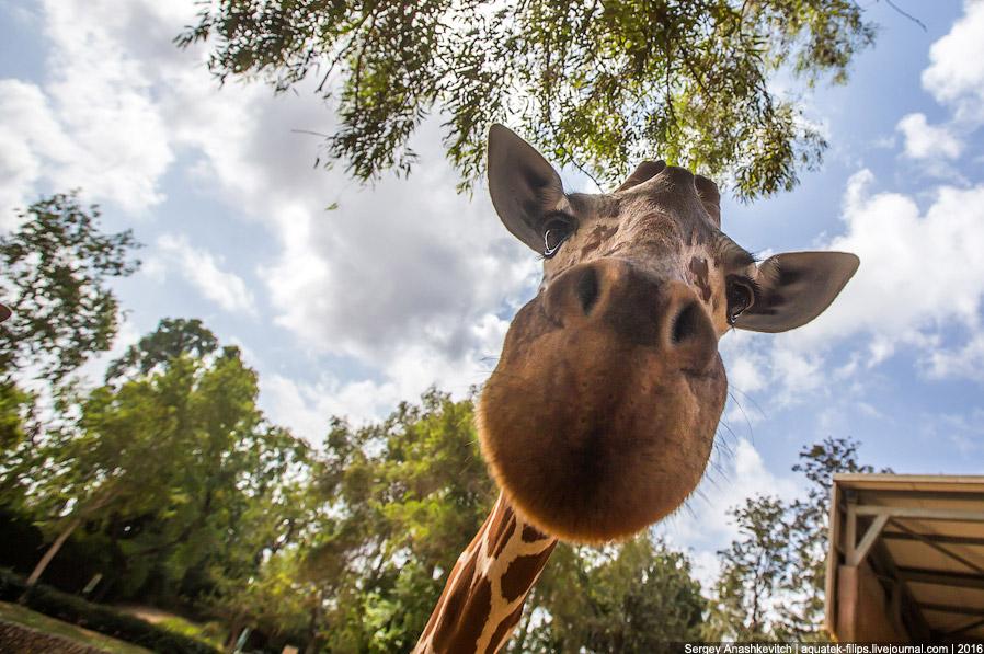 6. Жирафы любят сырой лук. На еду в день у них уходит от 16 до 20 часов.