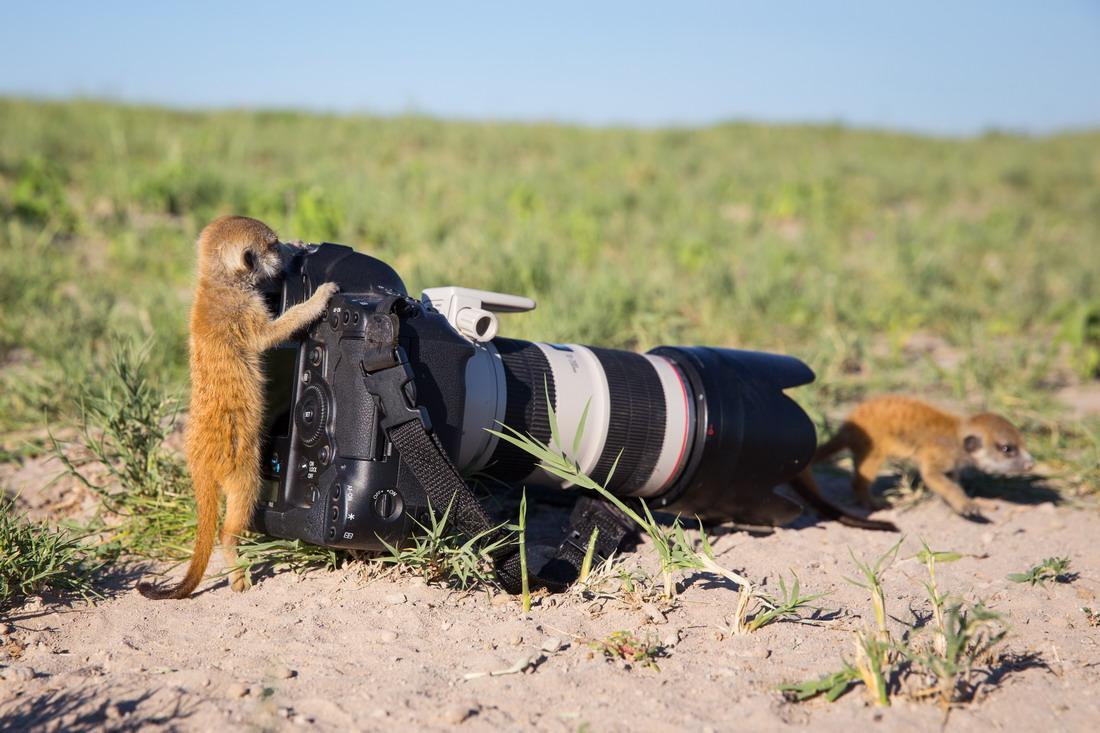 Увлекательная фотоохота на сурикатов