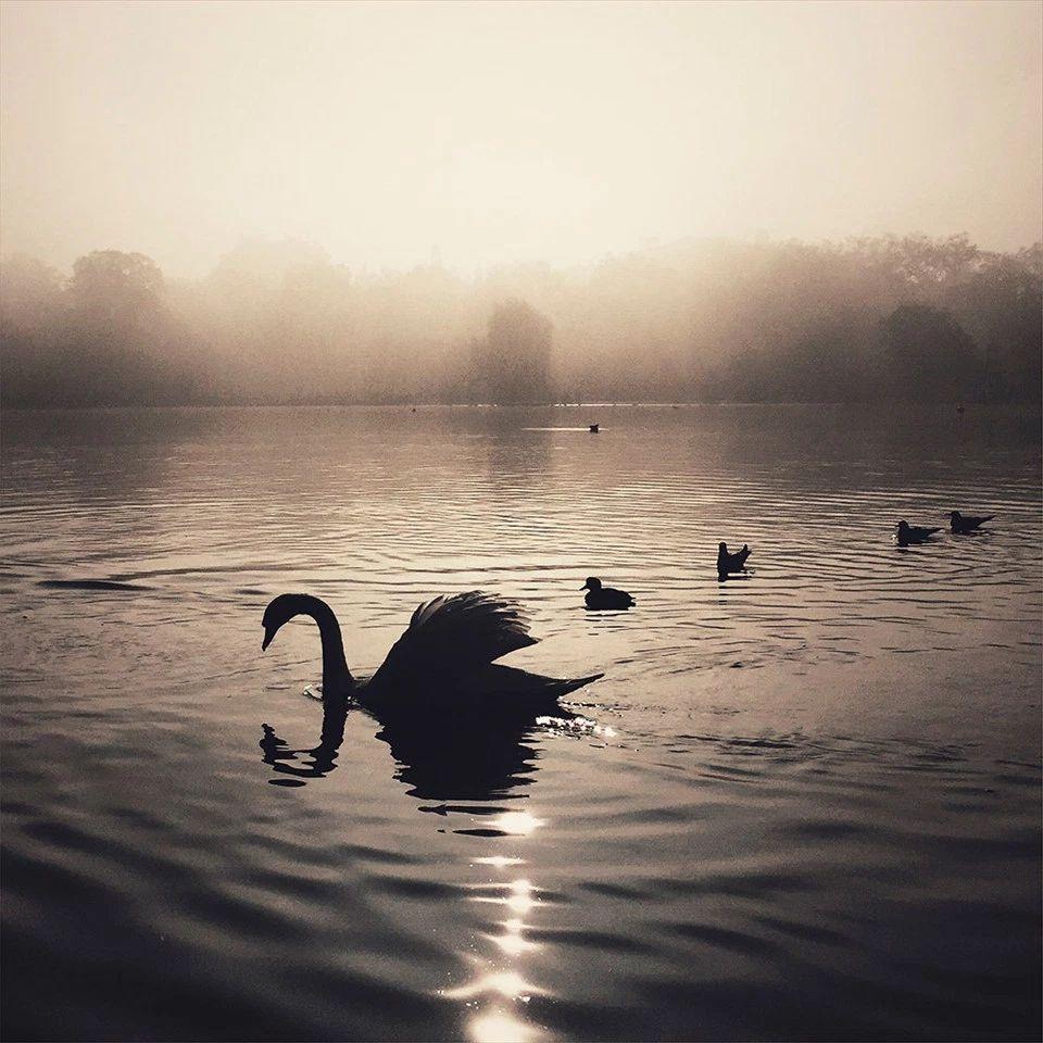 «Лебеди в тумане», Кара Галлардо Вэйл. Победитель в категории «Природа».