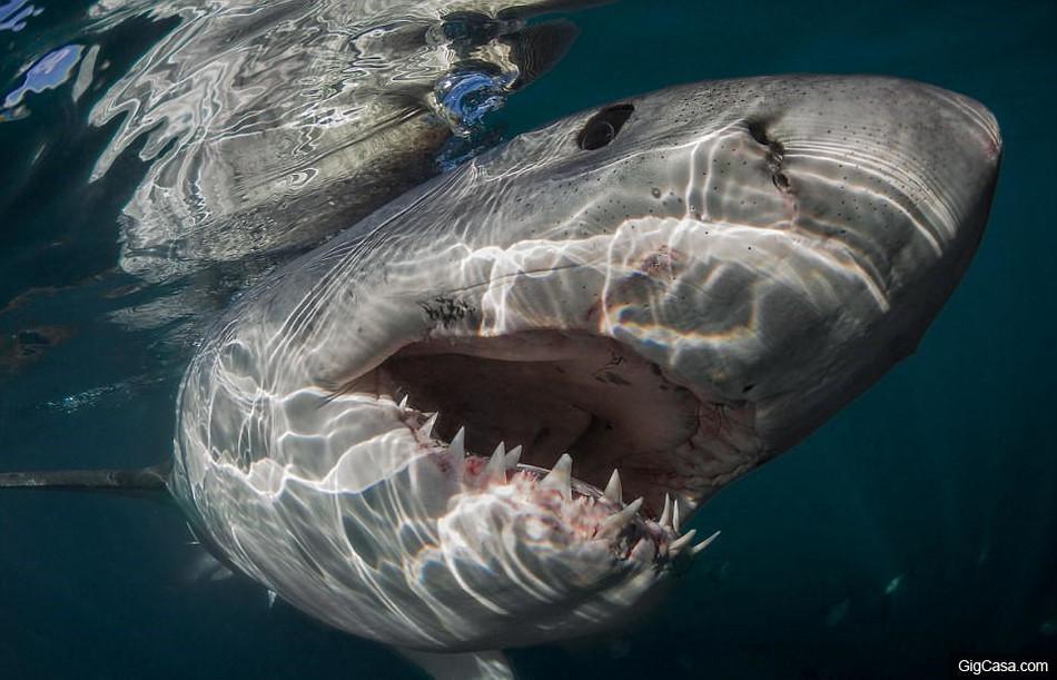 Пугающие фотоснимки беспощадных белых акул