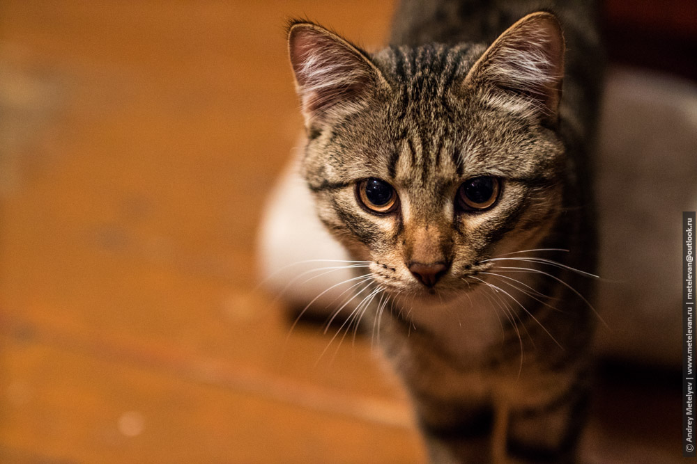худой наглый молодой кот