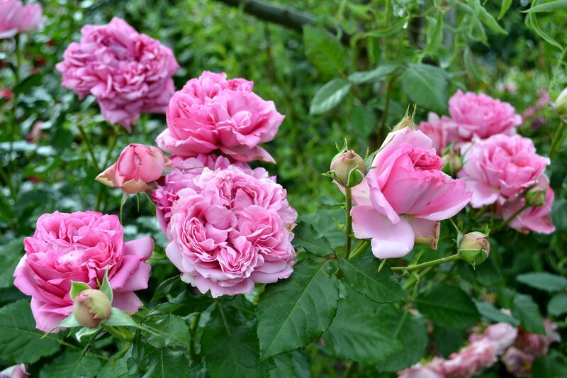 Rose de Pompadour, Delbard, 2014