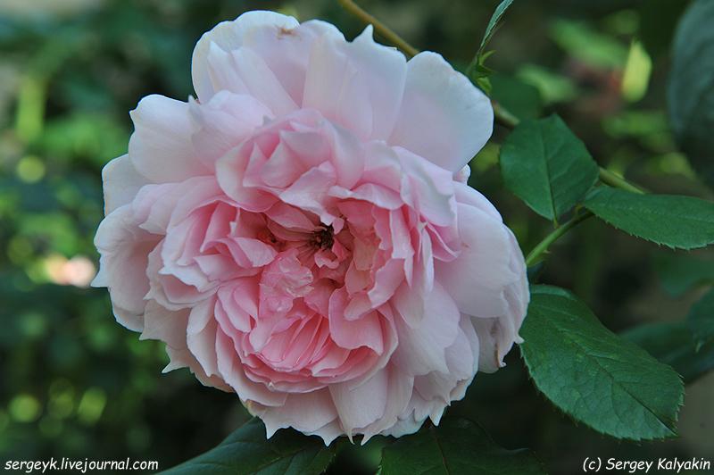 Rosa The Wedgwood Rose (7).JPG