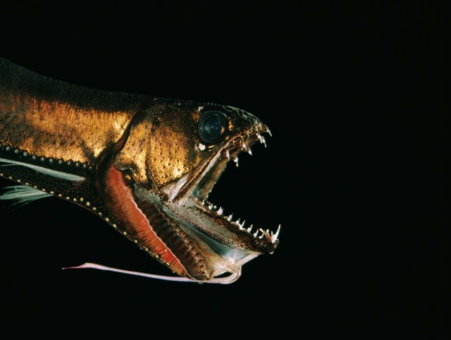 9. Острозубая рыба.
