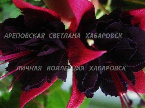 НОВИНКИ ФУКСИЙ. - Страница 5 0_157e9c_25c118e7_L