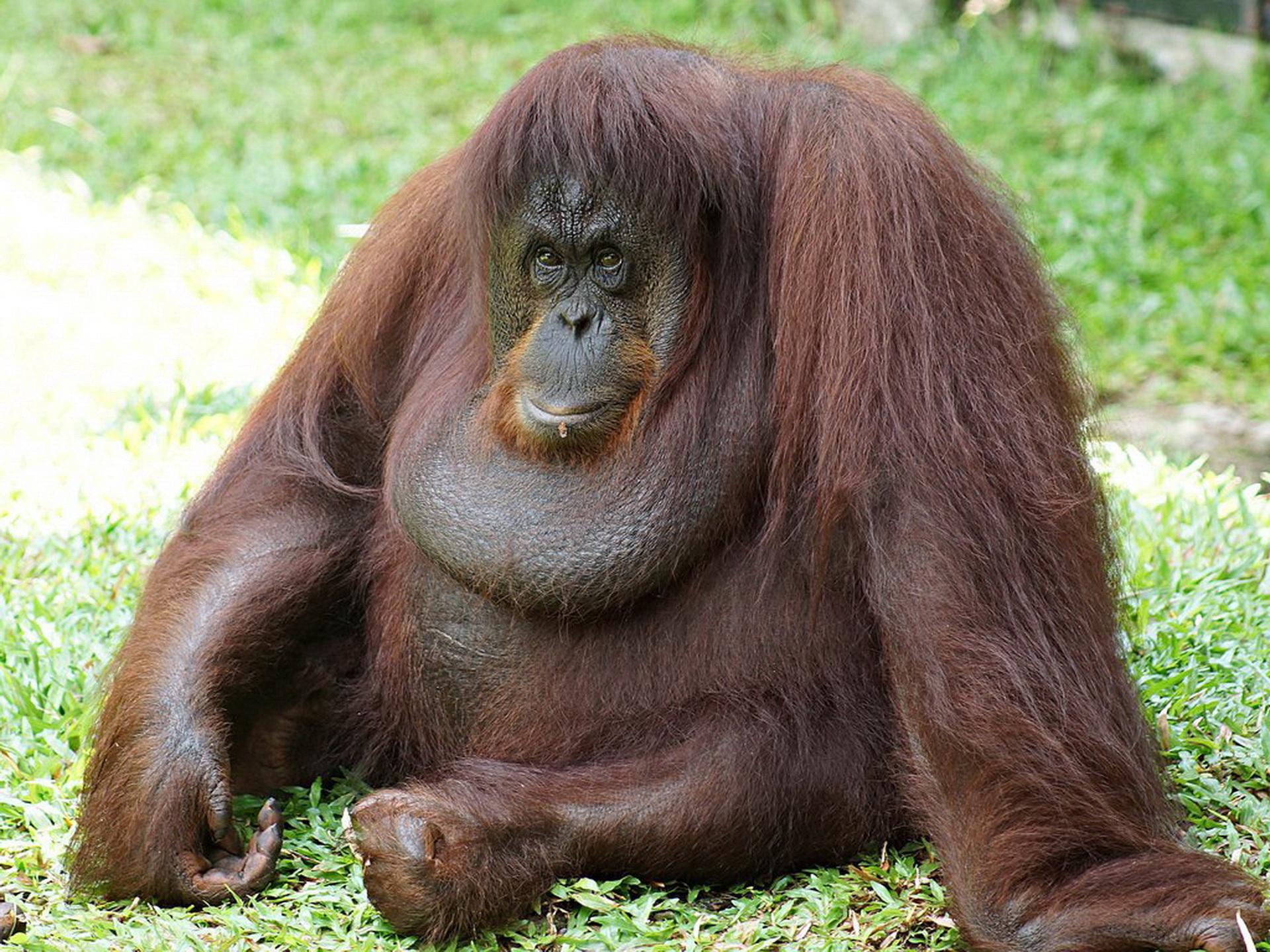 Тато-орангутанг