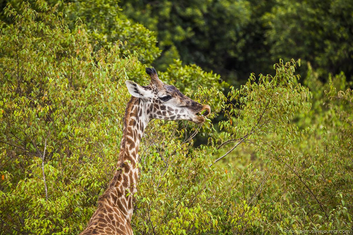 Да, собственно рядышком были жирафы – местный вид – Масайский жираф. Взгляните на форму пятен – она