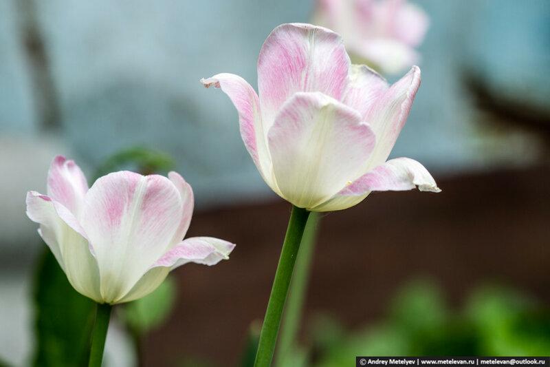 изображение тюльпанов