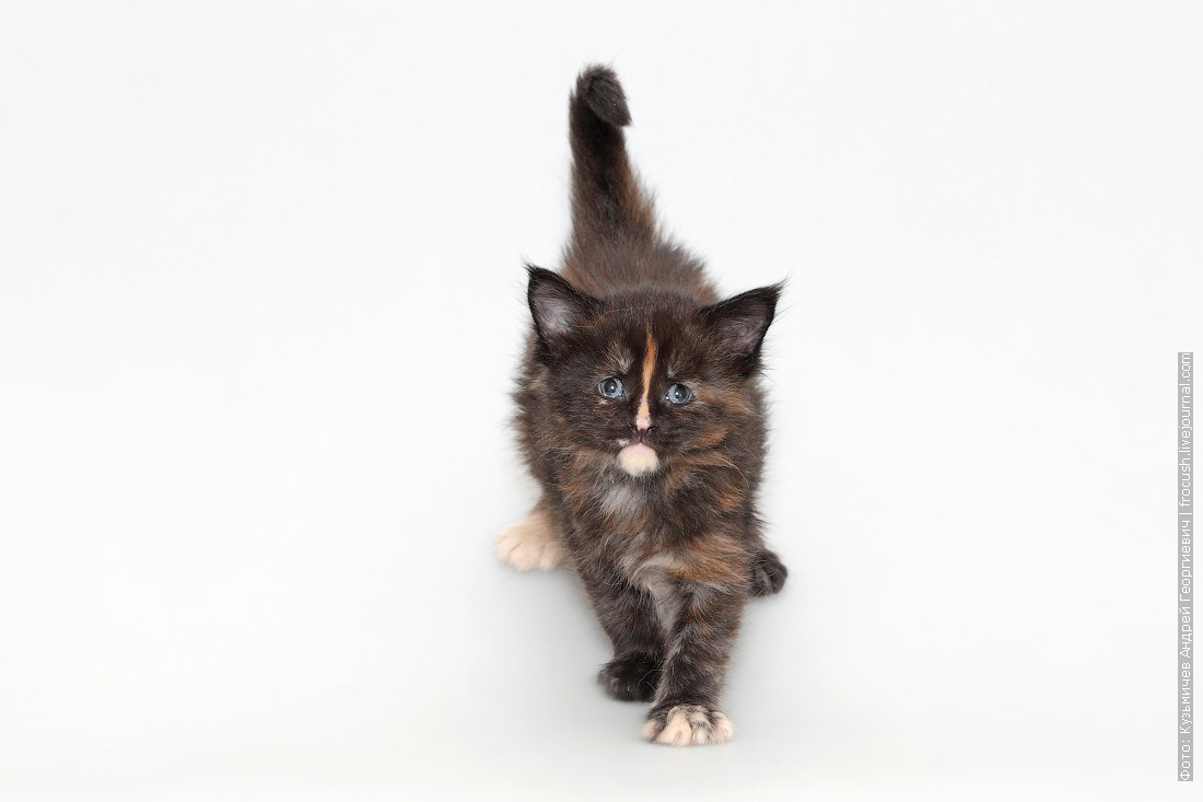 котенок мейн-кун 1 месяц