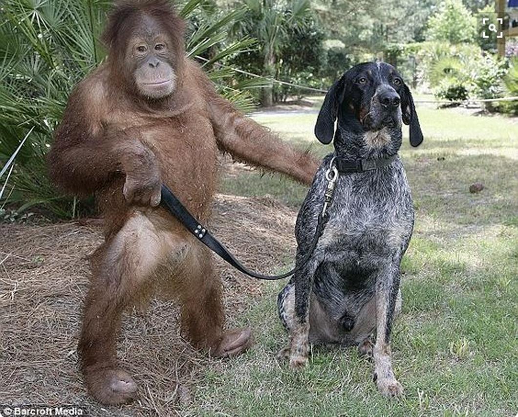 Орангутанг Суриа и бродячая собака Роско. Suryia and Roscoe (1060-1).jpg