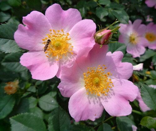 Роза Canina
