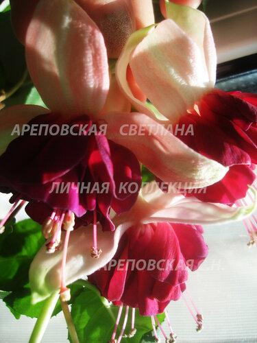 НОВИНКИ ФУКСИЙ. - Страница 5 0_155875_cffd95b2_L