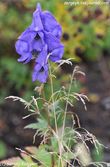 Aconitum arensii (2).JPG