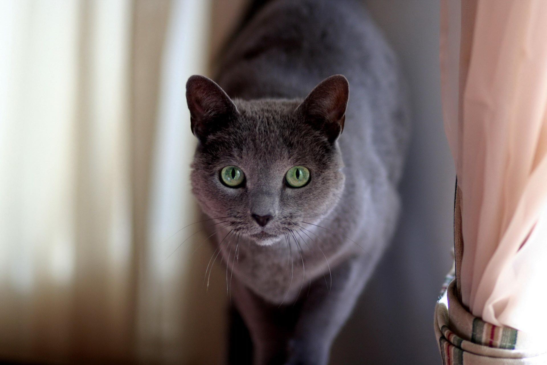 Граціозна кішка