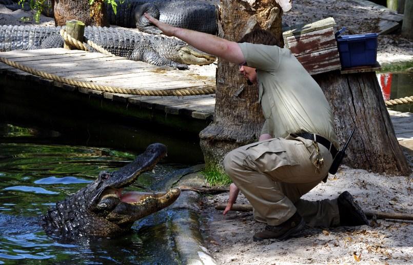 Как выращивают аллигаторов? (30 фото)