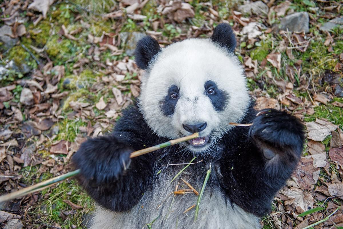 Родившаяся в неволе панда ест бамбук в лесу День Шень, что в провинции Сычуань. (Ami Vitale)