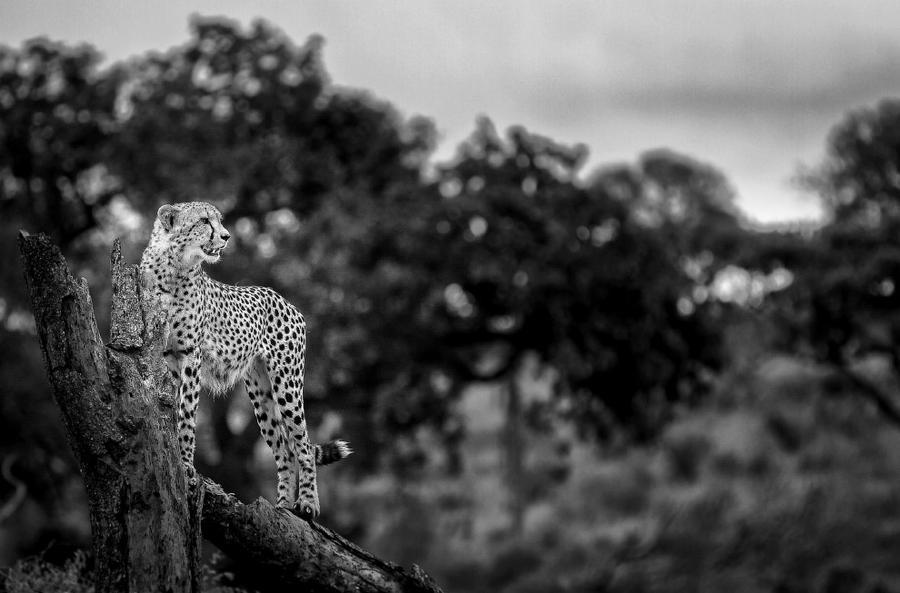 10. Самое быстрое животное на планете, гепард.