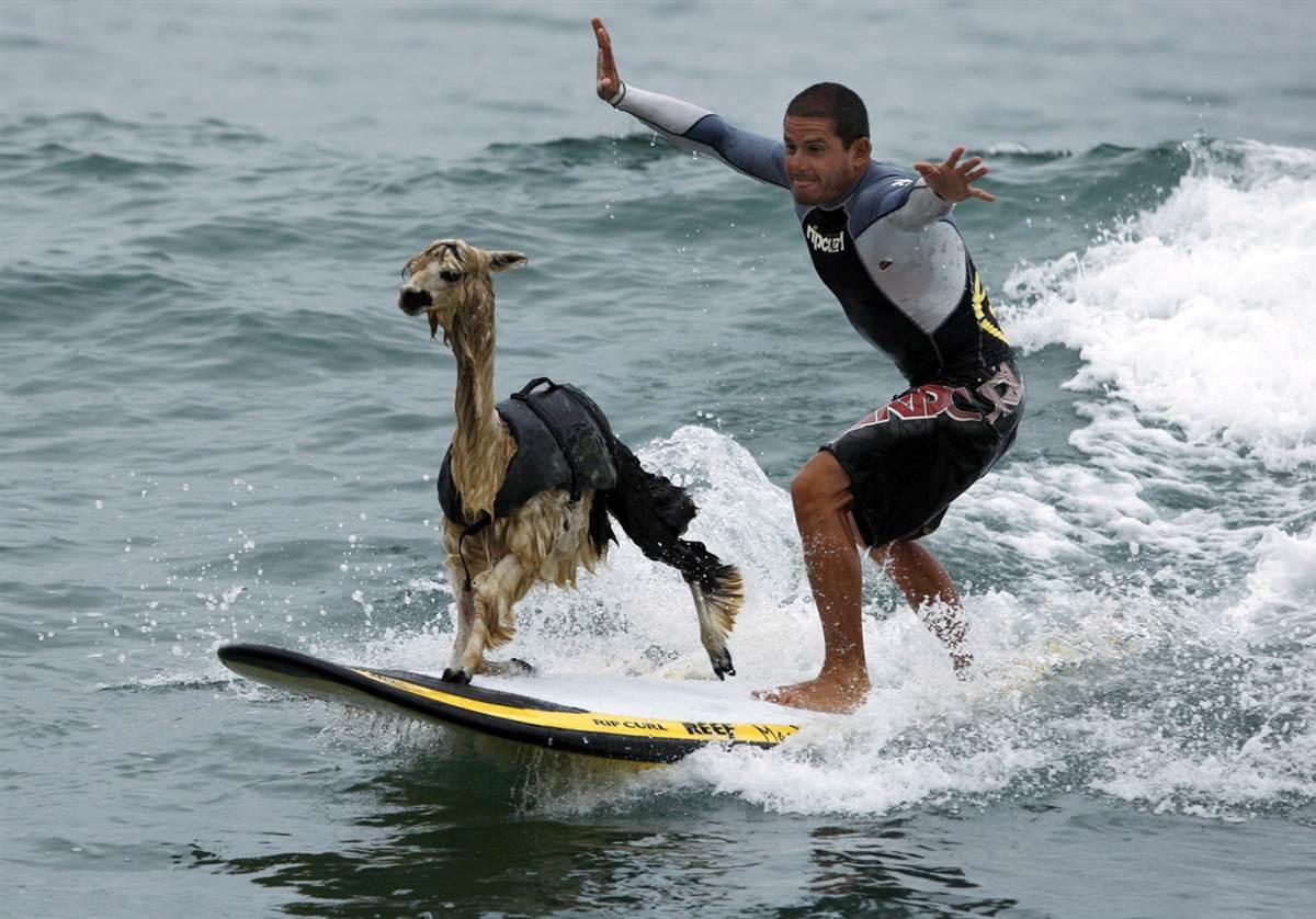 А вот козы не очень любят спорт. Но очень любят хозяина.