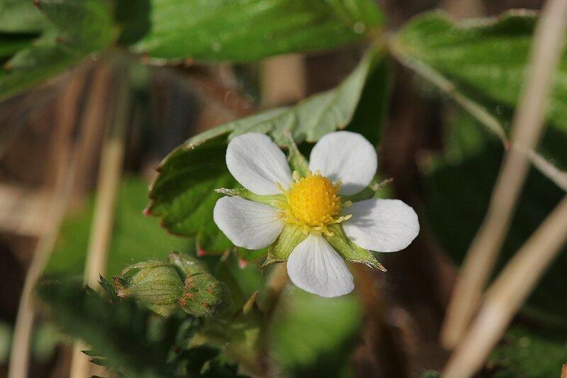 Цветок земляники на солнечном пригорке