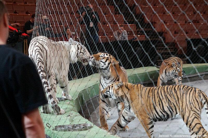 Весна. Назарова. тигры. 29.03.16.01..jpg