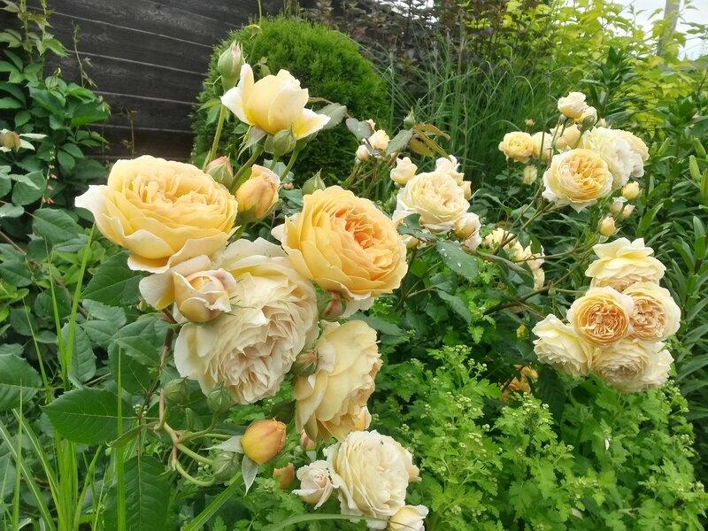 роза Crown Princess Margaretha