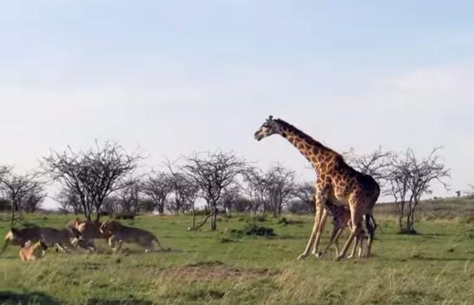 Видео. Храбрая мать жираф защищает детеныша от львиной стаи