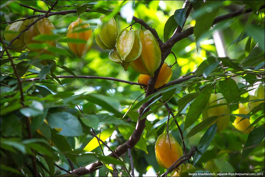 22. Помимо специй, на этих «фермах» растут также некоторые фрукты. Например, карамбола