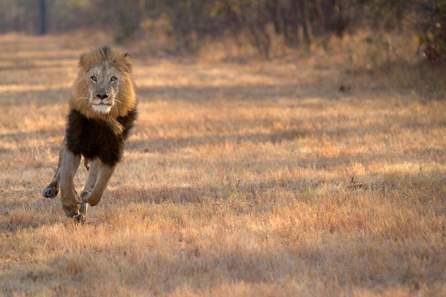 1. Глава львиного прайда.