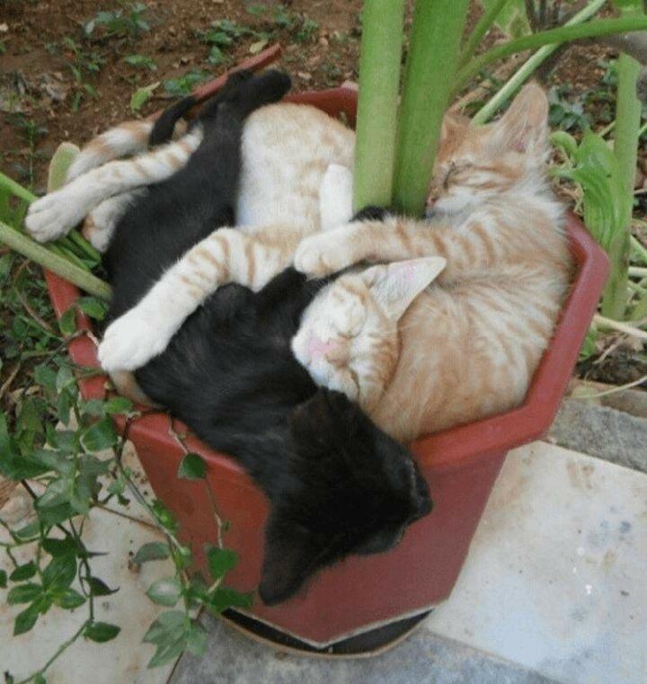 Пришла весна — расцвели коты, или Смешные коты в в цветочных горшках