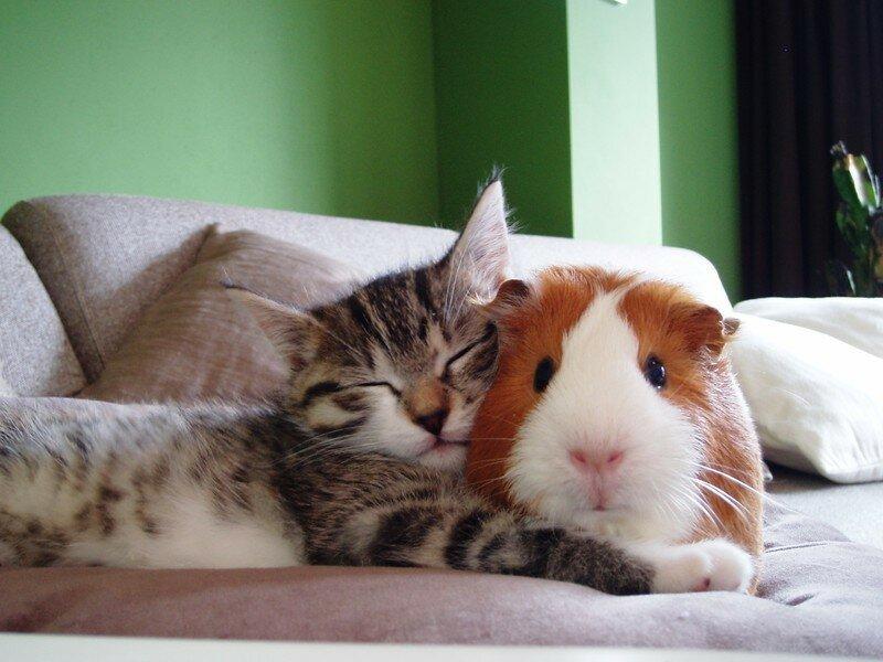 Котенок и морская свинка… которая никак не может заснуть, видимо.