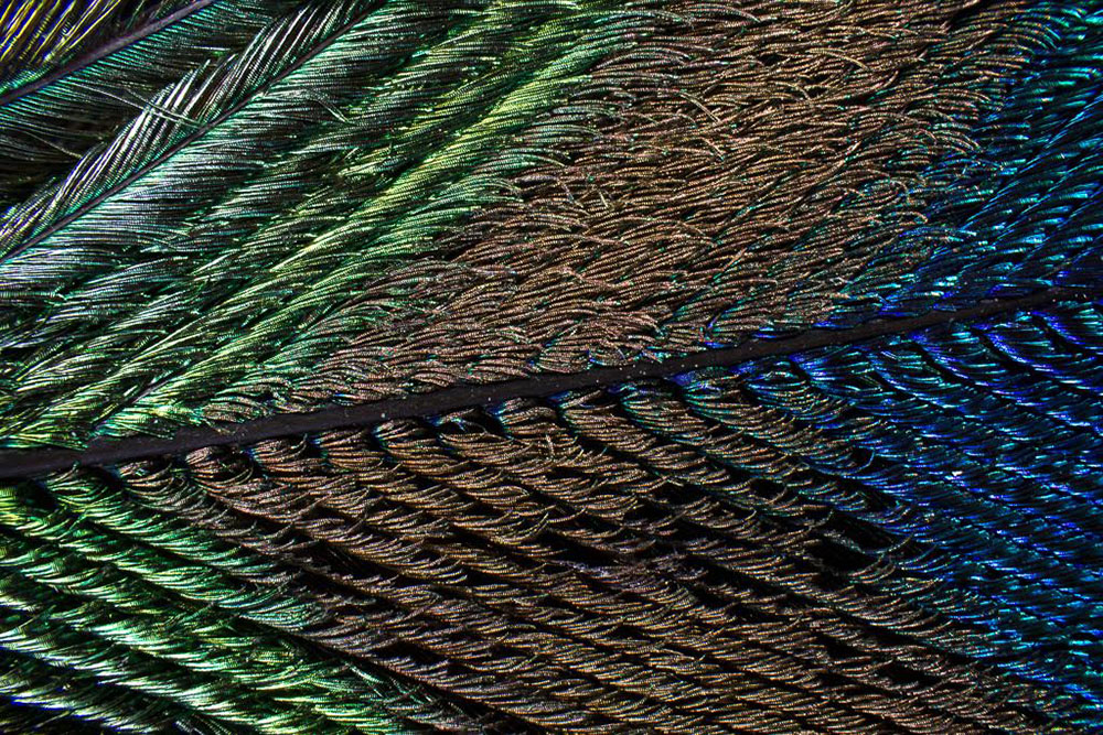 The Extraordinary Iridescent Details of Peacock Feathers Captured Under a Microscope