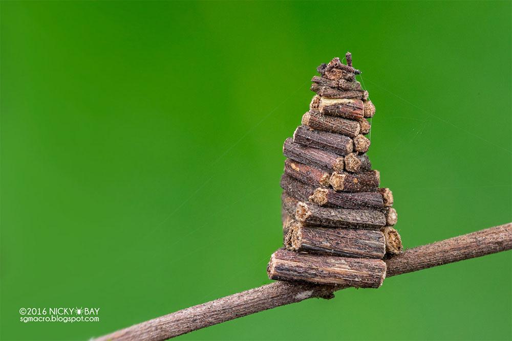 Bagworm moth larva (Psychidae)