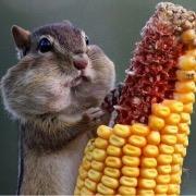 Хомяк и кукуруза