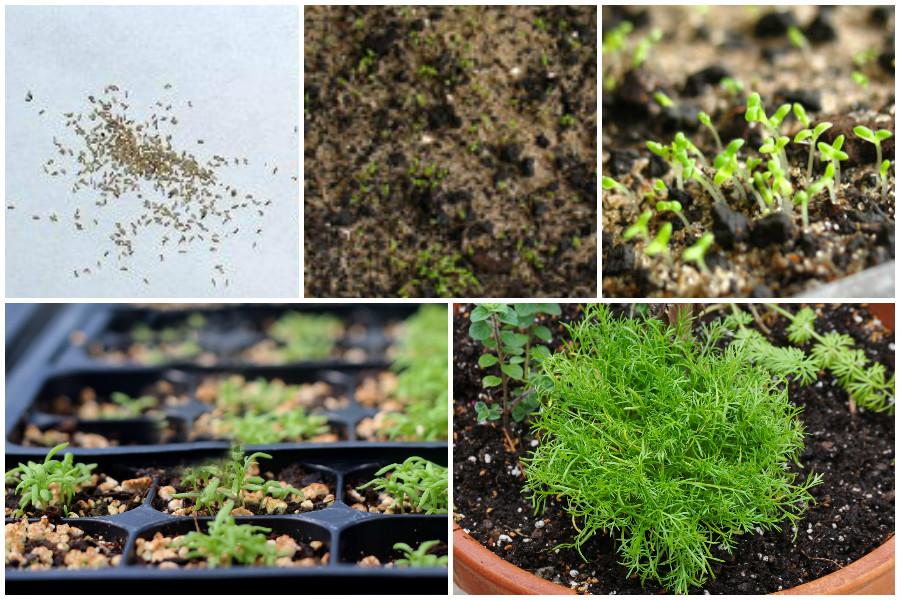 Выращивание ромашки аптечной. Польза ромашкового чая