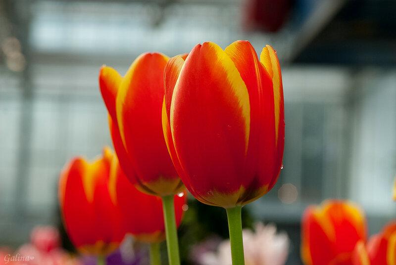 Поют Тюльпаны  о Весне