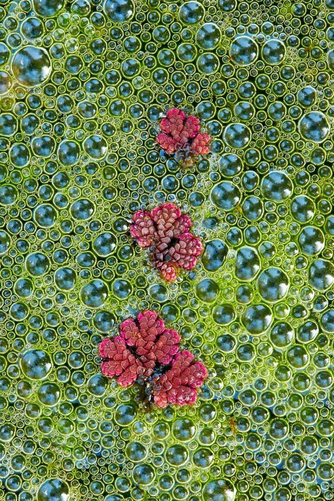 18. Категория «Ботаническая Великобритания». Азолла. Пенрин. Корнуолл, Англия. Фотограф: Tim Hunt.