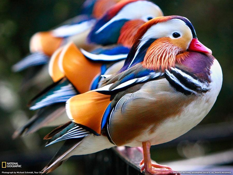 Яркая и красивая утка — мандаринка