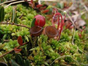 Монилиния клюквы (Monilinia oxycocci)