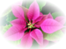 Poinsettia-7.png