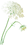 anna.br-flor_by_Judith_Secco-08-01-10.png