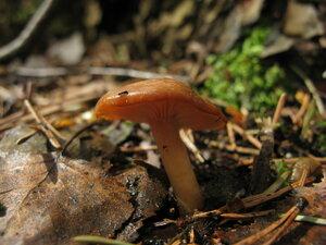 Говорушка кошенильная (Rhizocybe vermicularis)