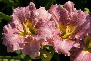 Лилейники в Саду Дракона летом 2011г 0_6374c_5ca92204_M