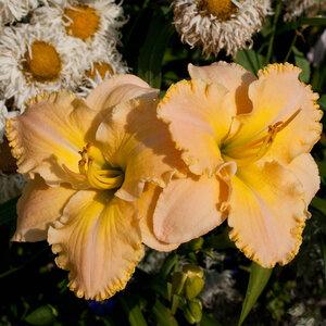 Лилейники в Саду Дракона летом 2011г 0_63778_5983f76e_M
