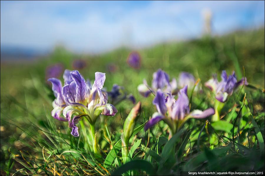 Цветение диких ирисов в Крыму